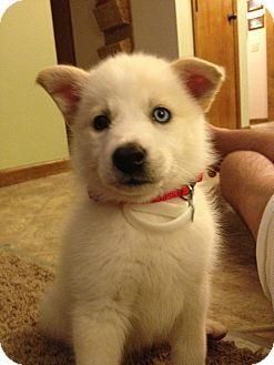 American Eskimo Dog Husky Mix Puppy For Sale In Columbus Ohio