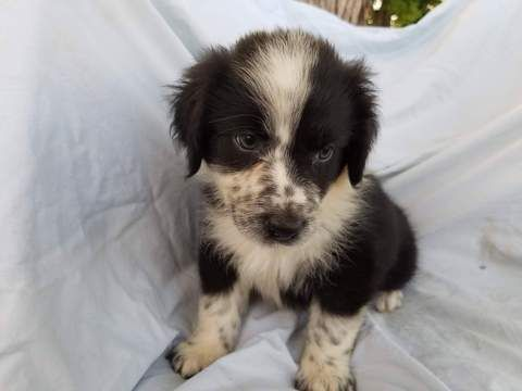 Australian Shepherd Puppy For Sale In Baltic Oh Adn 31008 On