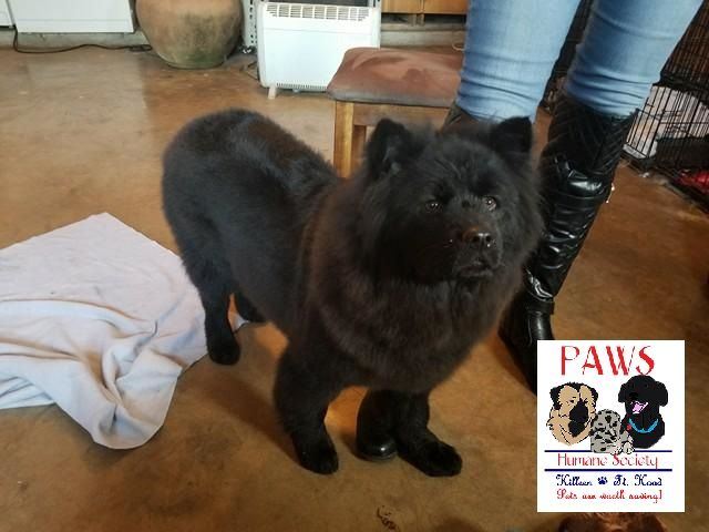 Chow Chow Dog For Adoption In Killeen Tx Adn 768155 On