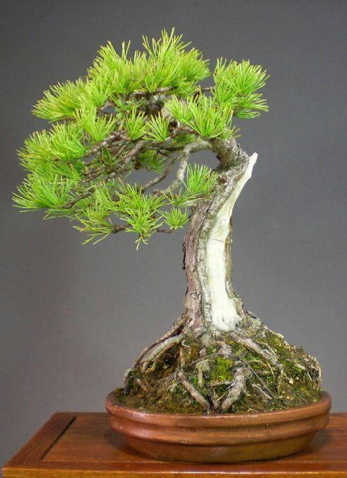 Jpb bonsai collection5 2 bonsais kleine b ume for Kleine mucken in topfpflanzen