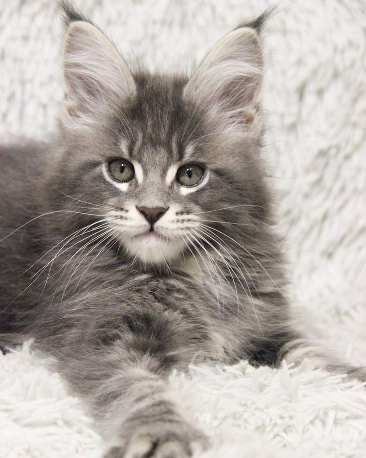 Pin on Maine Coon Cats Funnies, Facts And Fur