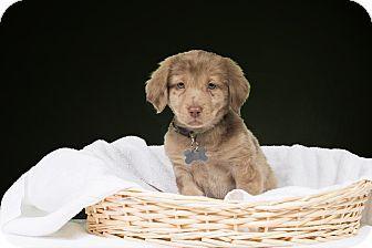 Livonia Mi Labrador Retriever Dachshund Mix Meet Camo A Puppy