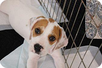 Ft Myers Fl Basset Hound American Bulldog Mix Meet Oscar A
