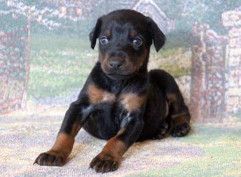 Doberman Pinscher Puppy For Sale In Mount Joy Pa Adn 54820 On