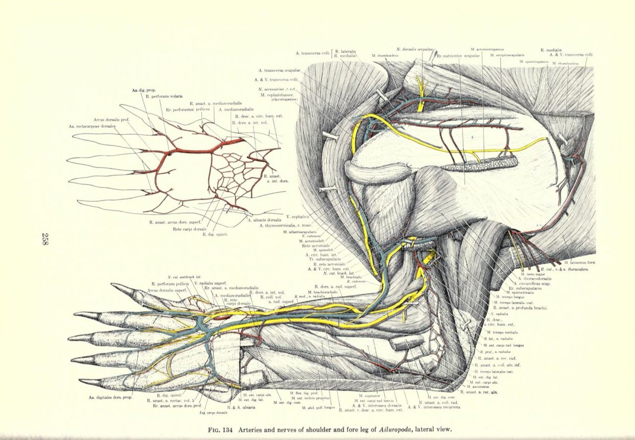 Giant Panda Anatomy Illustrations Pinterest Anatomy Panda And