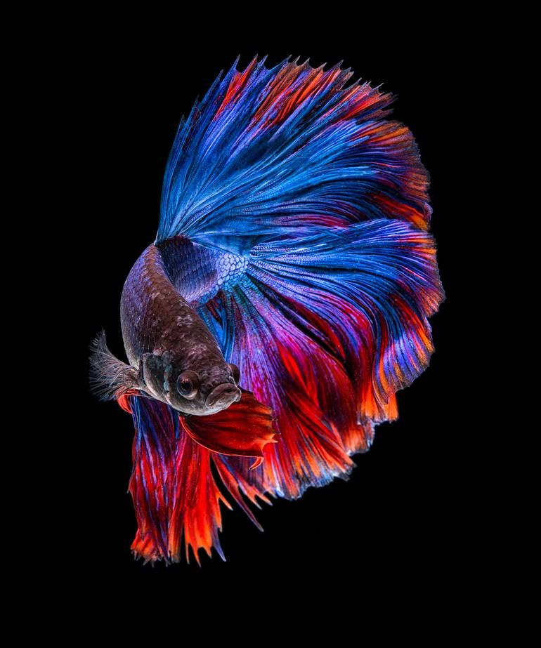 Blue And Red Limited Edition Of 120 Photograph In 2020 Ocean Art Marvel Wallpaper Betta Fish