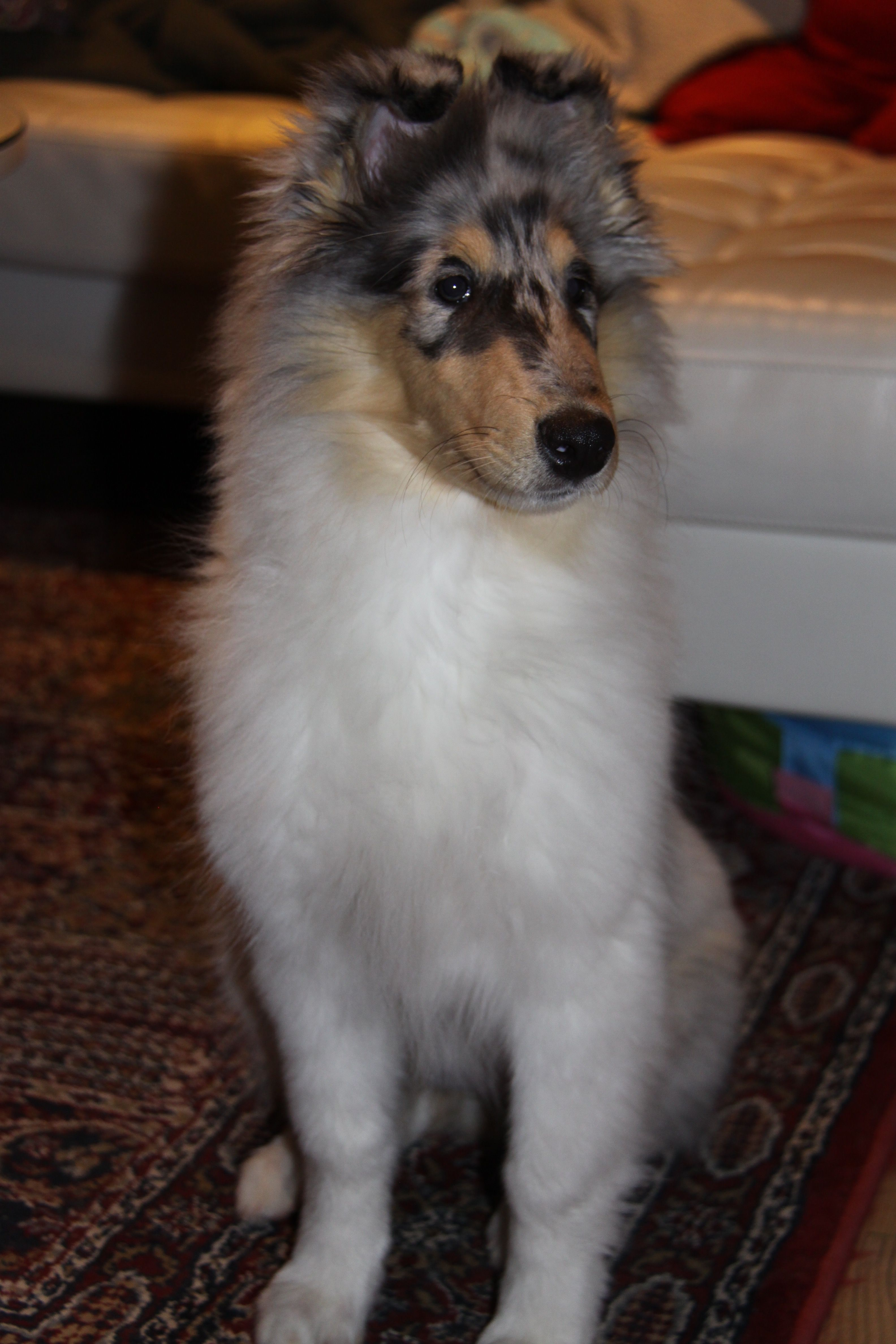 3 1 2 Month Old Blue Merle Rough Collie Puppy Rough Collie Puppy