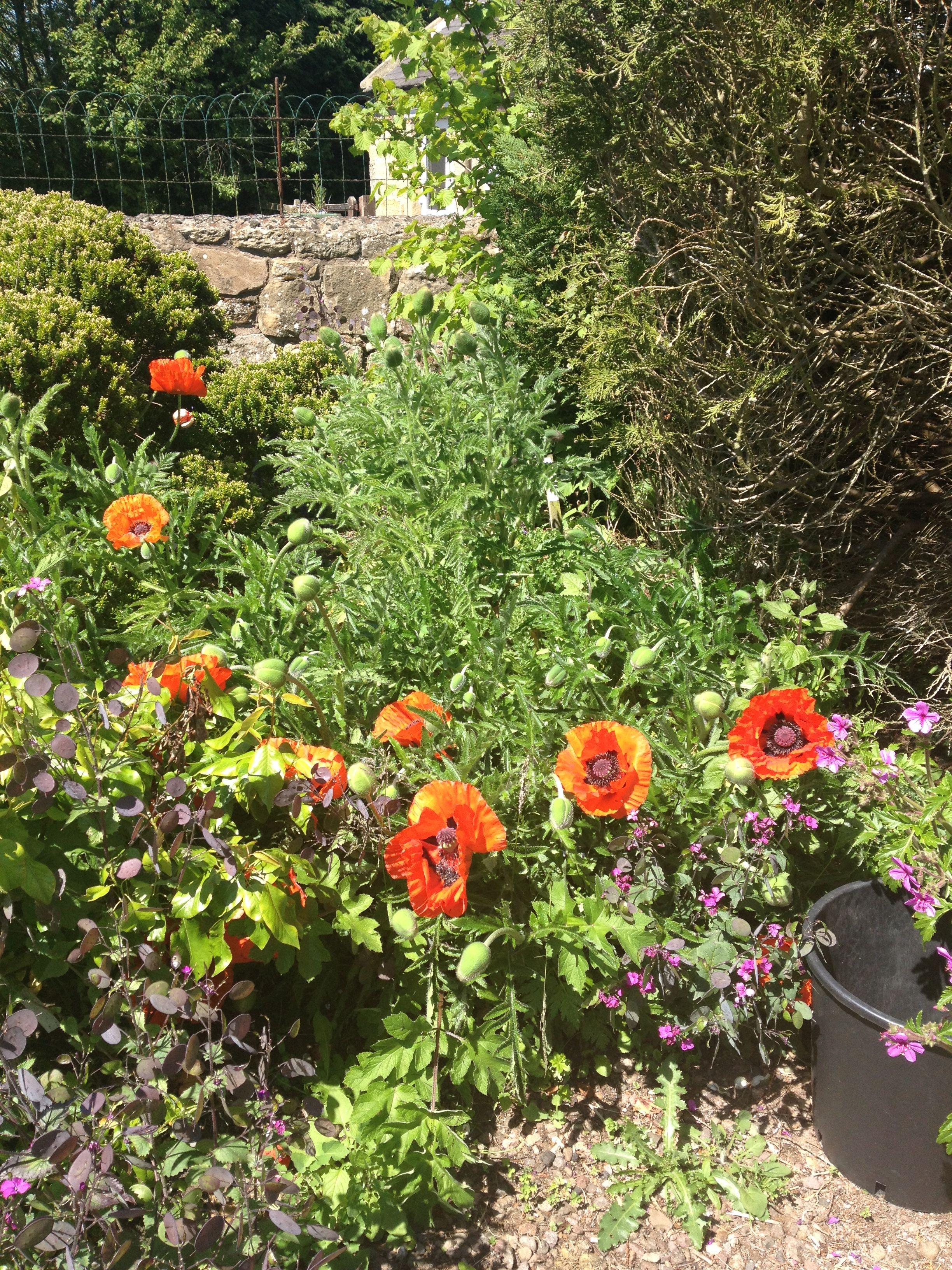 poppies at Longframlington gardens