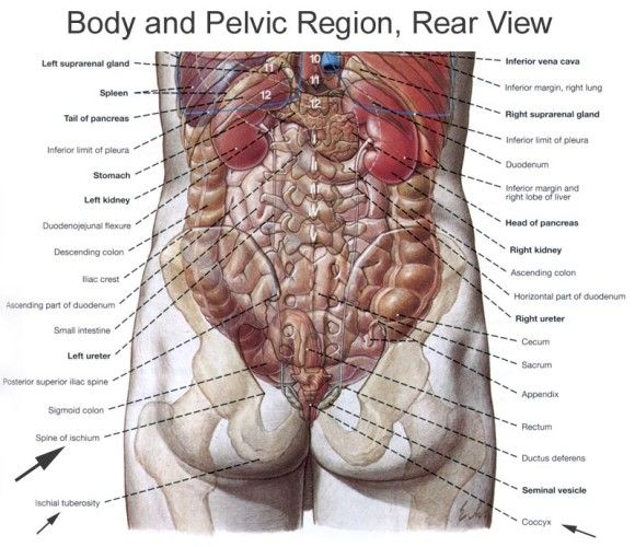 Human Organs Diagram Back View | Health and Wellbeing