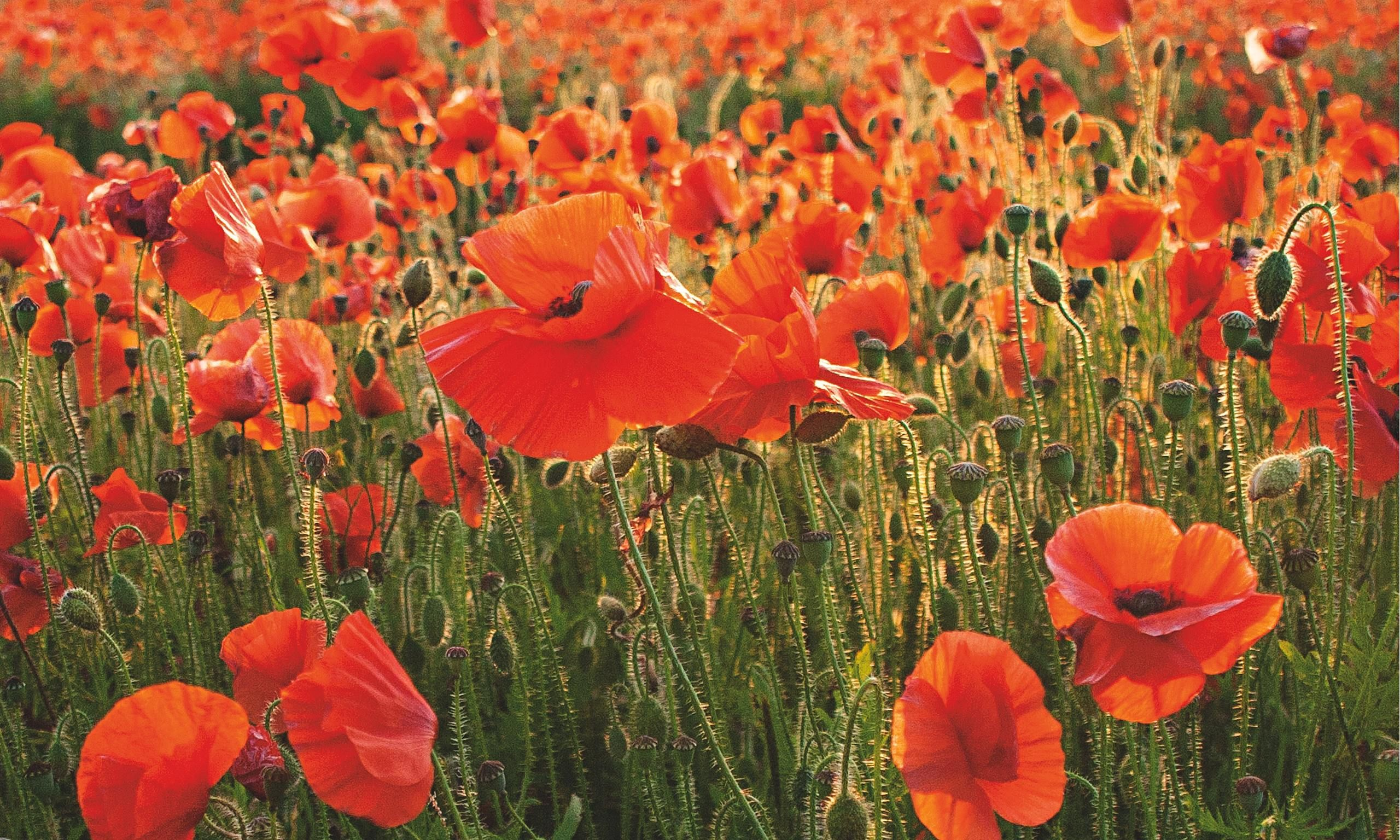 Gardens why the poppy is more than a symbol of
