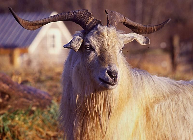 A Cashmere Goat Is Any Breed Of Goat That Produces