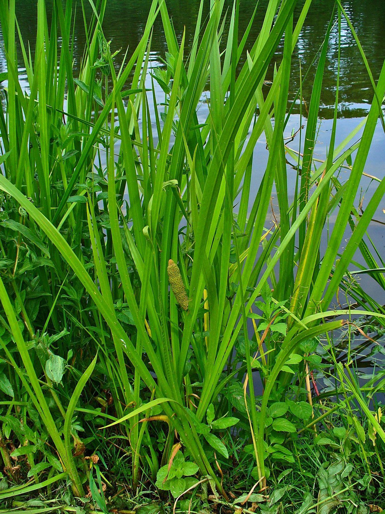хочу, что аир болотный фото растения проволока