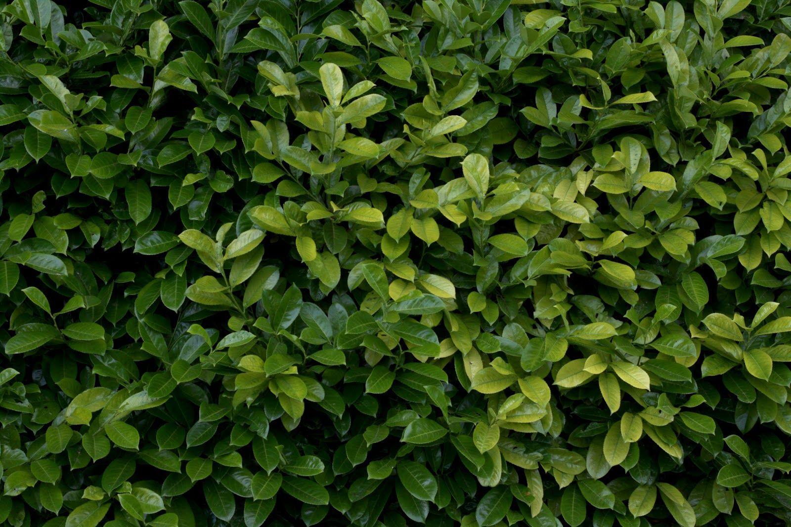 Plant Hedge Bush Leaf Leaves Texture Gimp Textures