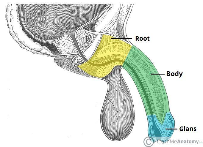 Bildresultat för penis anatomy muscles | Bad | Pinterest | Anatomía