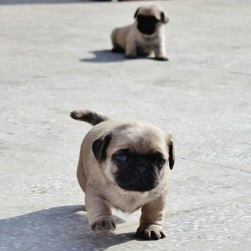 Puppy Pugs I Adore These Little Nuggets Baby Pugs Pug Puppies