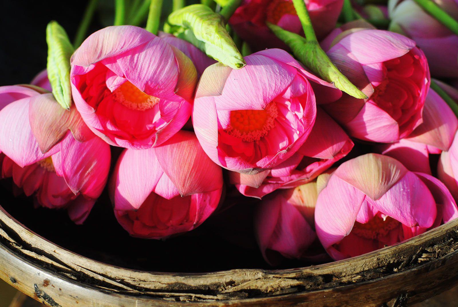 Vietnamese Lotus Tea A Quintessence Gift From Hanoi Weasel
