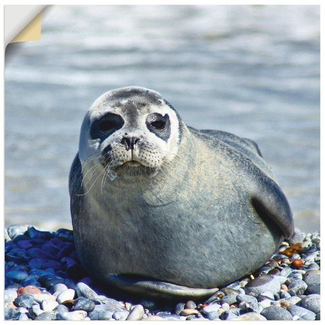 Photo of Artland Premium Wandfolie »Kattobello: Robbe am Strand von Helgoland« online kaufen | OTTO