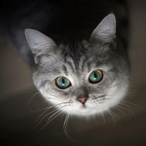 Le chat ouvrit les yeux, Le soleil y entra. Le chat ferma les yeux, Le soleil y resta. Voilà pourquoi, le soir Quand le chat se réveille, J'aperçois dans le noir Deux morceaux de soleil. Maurice Carême / Le chat et le soleil