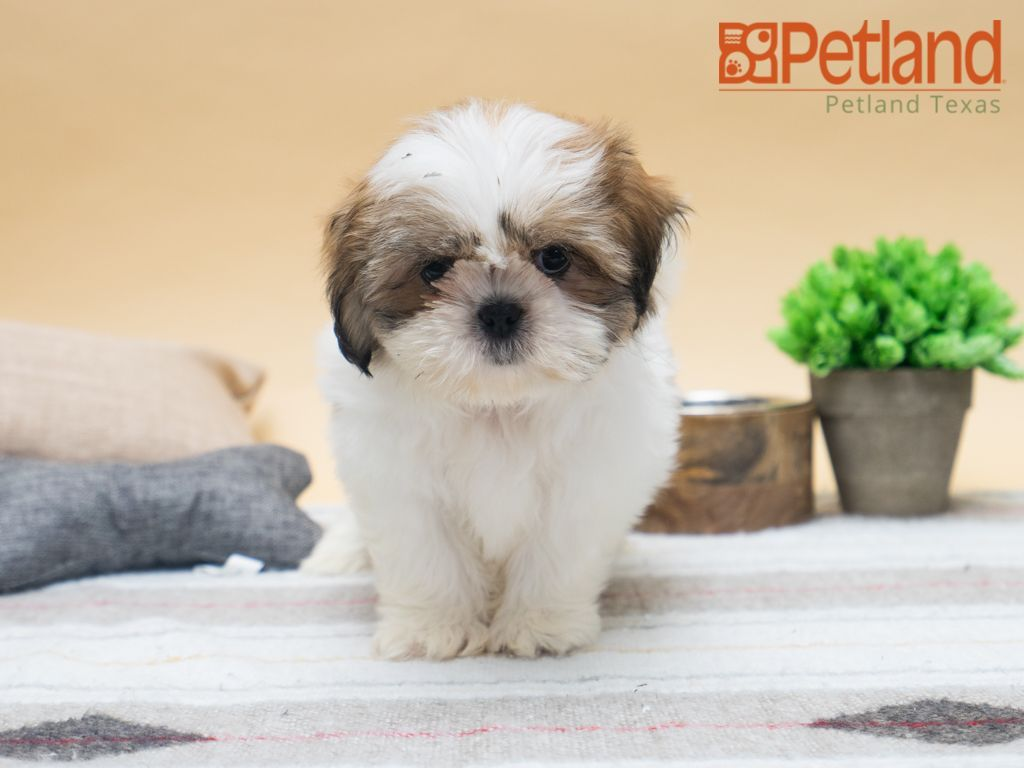 Petland Texas Has Shih Tzu Puppies For Sale Check Out All Our Available Puppies Shihtzu Petlandtyler Petland Petlan Dogs Hugging Shih Tzu Puppy Dogs