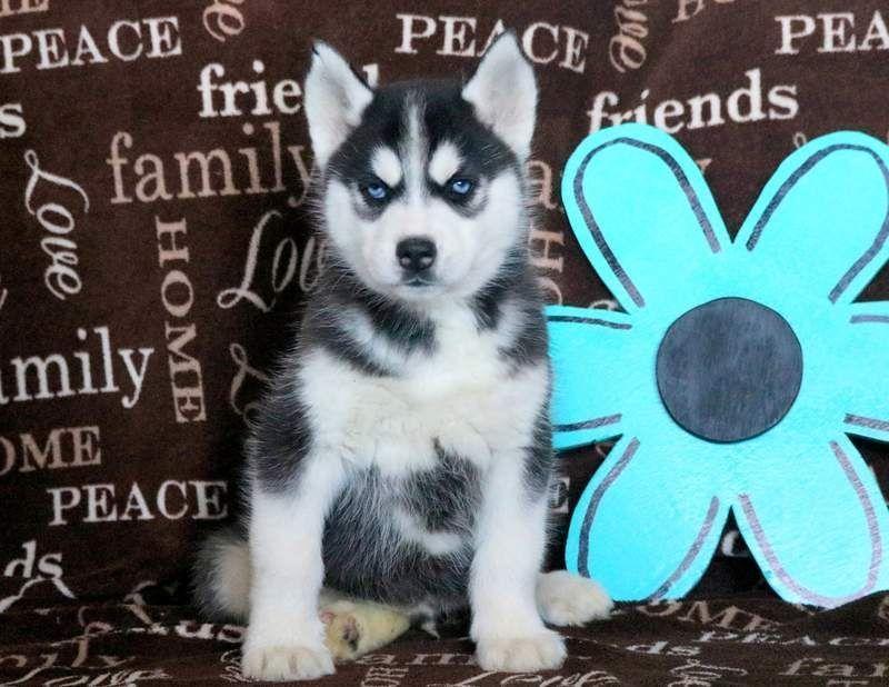 Siberian Husky Puppy For Sale In Mount Joy Pa Adn 68477 On