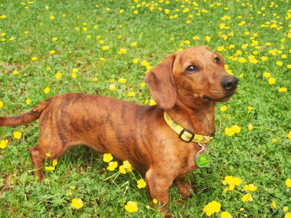 Red Brindle Such A Cutie Dachshund Dogs And Puppies Brindle