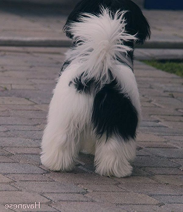 Havanese Dogs Funny