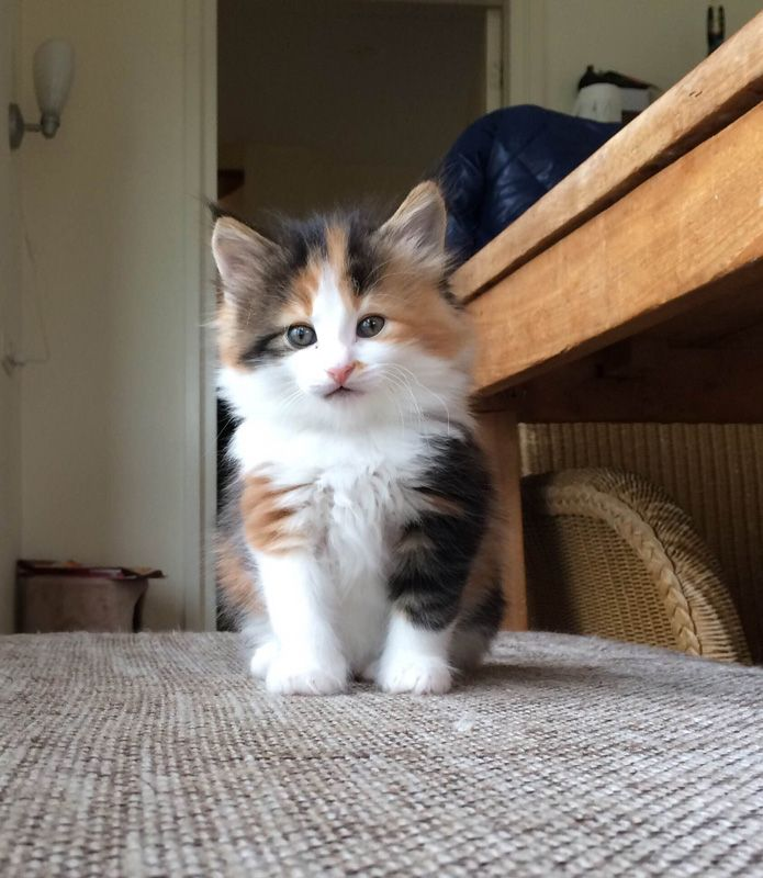 Norwegian Forest Cat Kitten Cattery Forest Myths The
