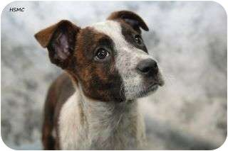 Boxer Blue Heeler Mix Puppy For Adoption In Waterloo Illinois