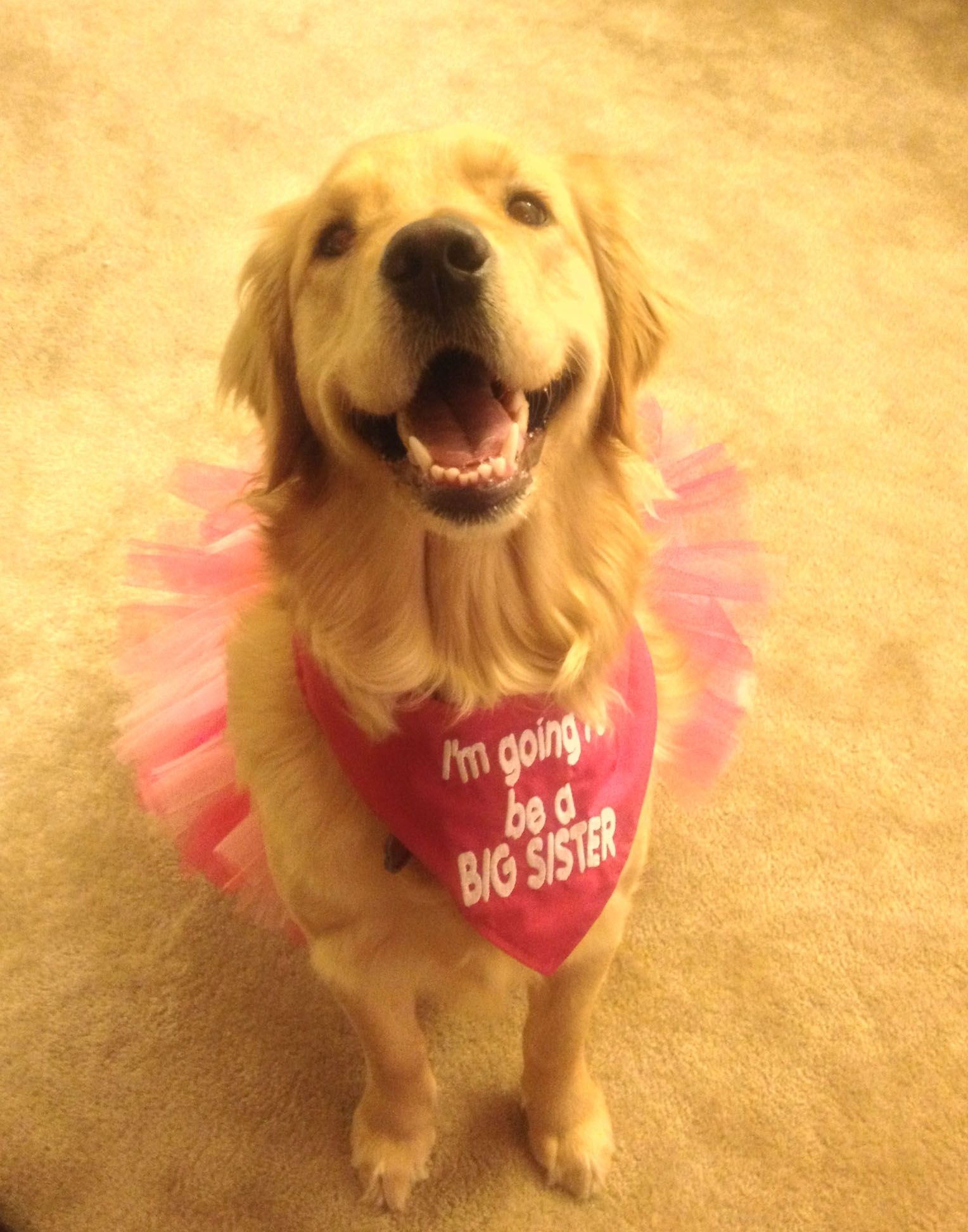 Baby announcement goldenretriever dog baby – Indiana Birth Announcements