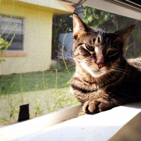 Lost Tiger Striped Male Tabby Cat Tabby Cat Cats Indoor Cat
