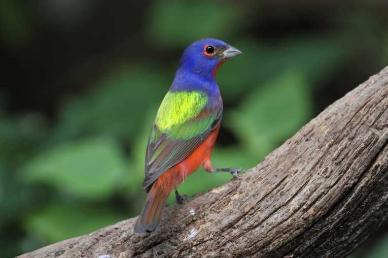 Colorful Painted Bunting Birds Wallpaper Hd Birds