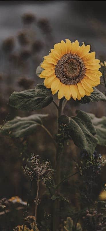 خلفيات ورد للايفون Sunflower Iphone Wallpaper Sunflower Wallpaper Iphone Wallpaper Pattern