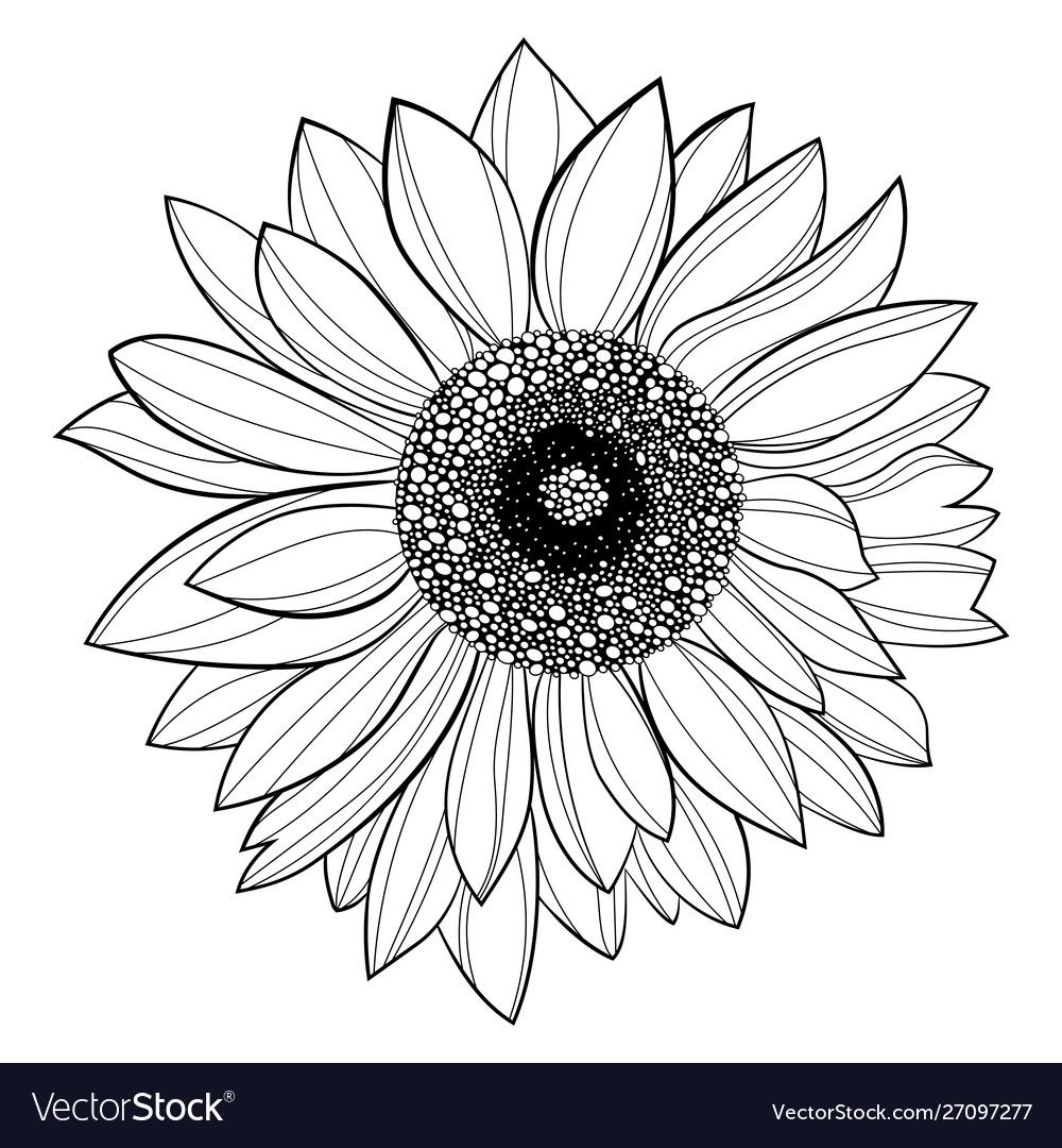 Sunflower flower black and white of vector image on