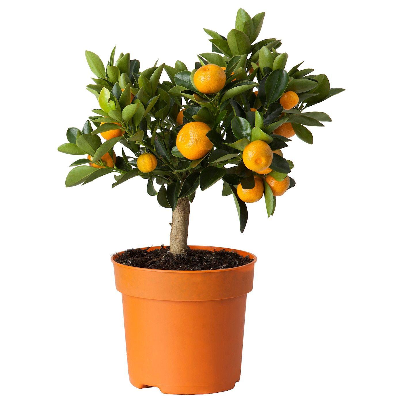 Citrus Potted Plant Calamondin 15 Cm Ikea En 2020 Armarios De Cultivo Celosias De Jardin Plantas En Maceta