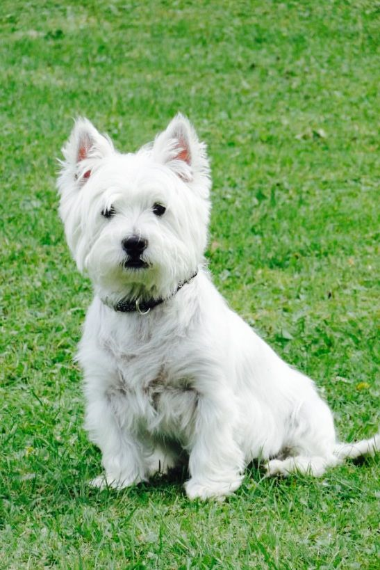 West Highland White Terrier With Images Westie Puppies West