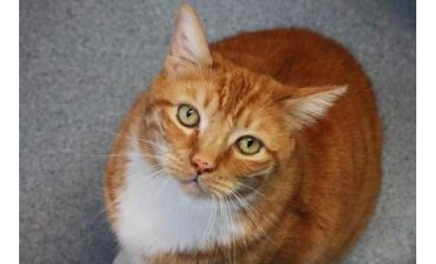 Meet Ollie An Awesome 8 Year Old Orange Tabby Boy Who Can T Wait To Make You His New Best Friend This Easygoing Guy Loves Humane Society Orange Tabby Animals