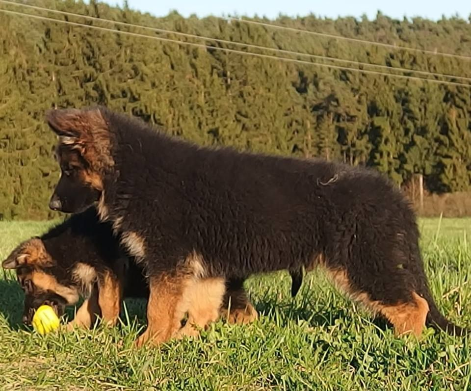 German Shepherd 101 Black German Shepherd Dog German Shepherd