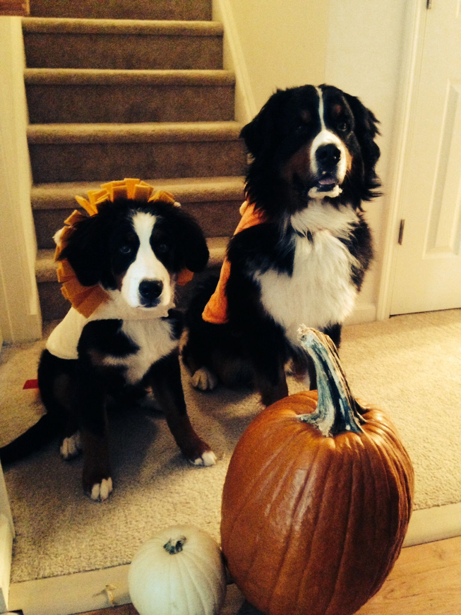 Halloween time with my bernese mountain dogs mountain