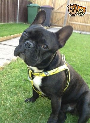 Black And White Brindle French Bulldog For Sale Brindle French