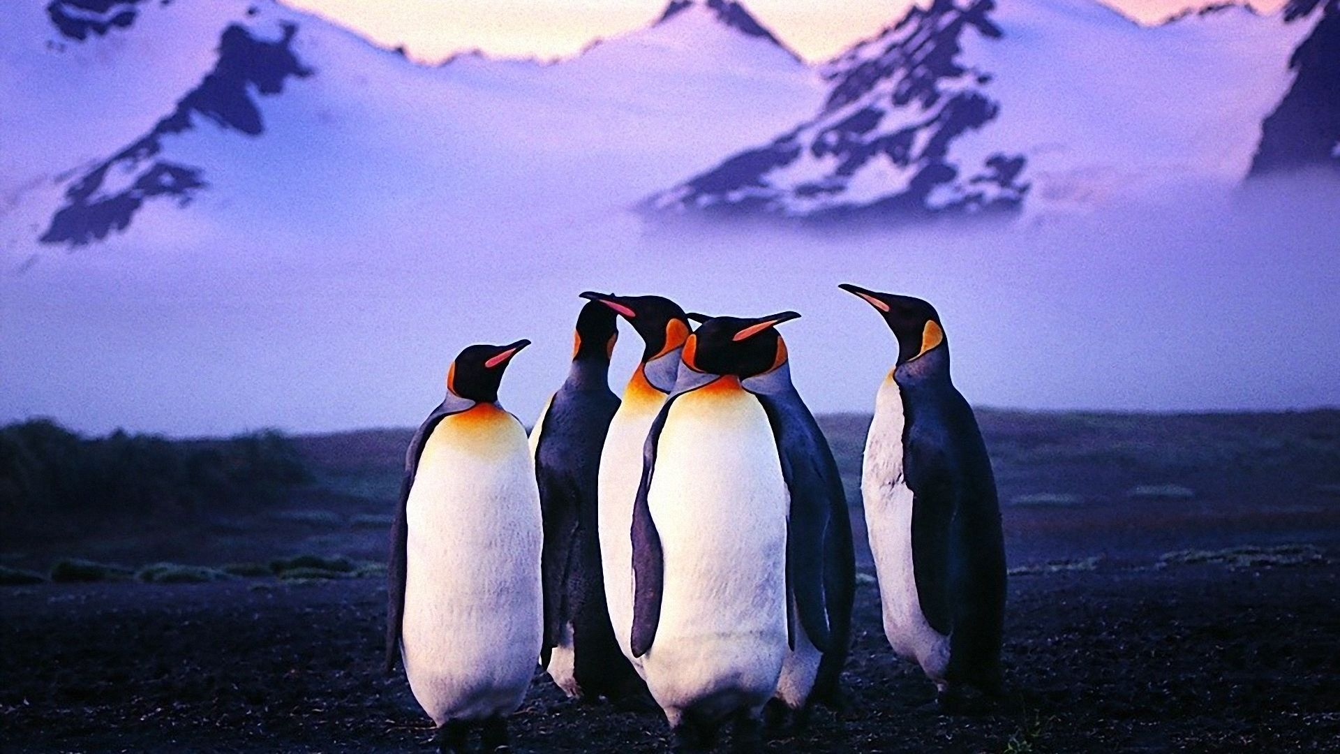 Penguin Wallpapers 43 Best Free Penguin Images For Mac in