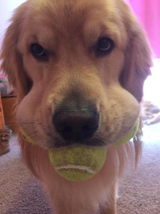 Cool Golden Retriever Chubby Adorable Dog - fb0e859f1c88654bb9a88f9b499f19ec  HD_249943  .jpg