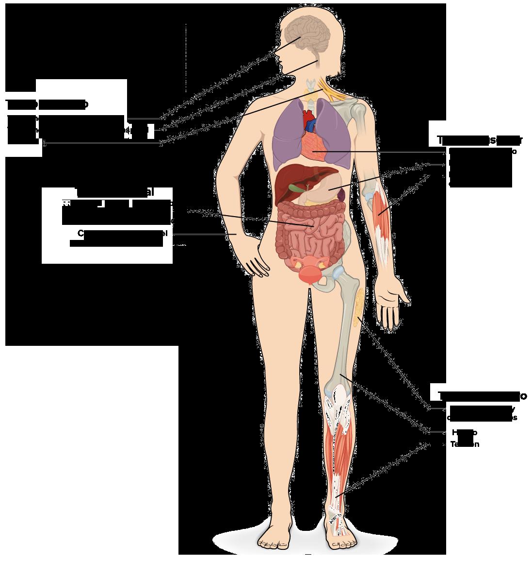 Tejidos Organos Y Sistemas De Organos Articulo