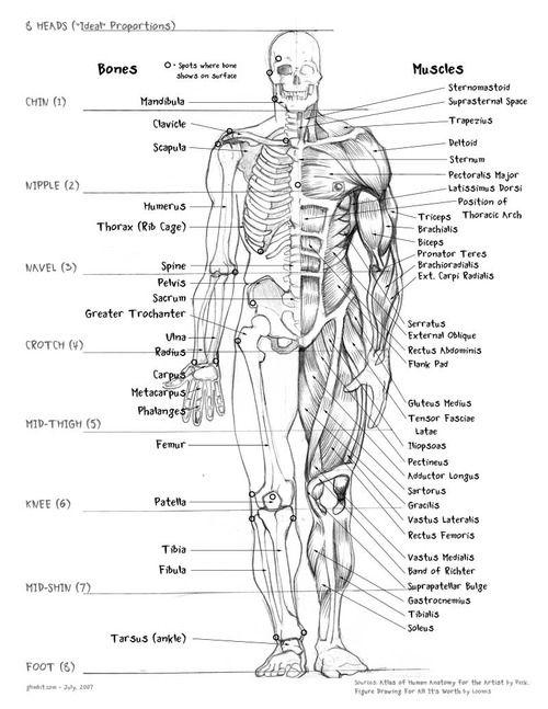Bones/Muscles | Nursing School! | Pinterest | Anatomía y Biología