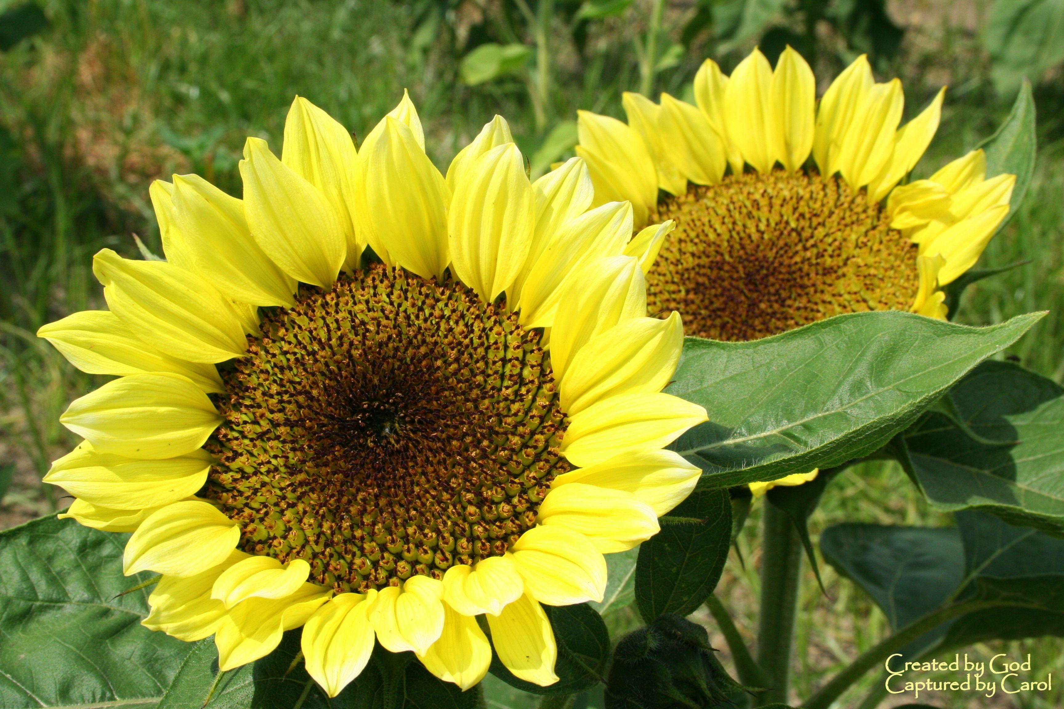 Sunflowers 해바라기 해바라기 그림
