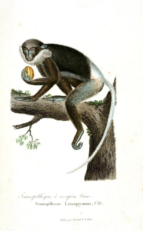 Animal Buffon Non Human Primate Monkey Lemur
