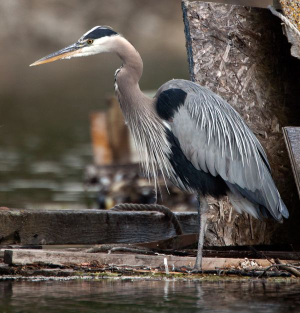 Great Blue Heron off the grid in Ganges Harbour by Peter & Nancy on their Guilemott30 blog