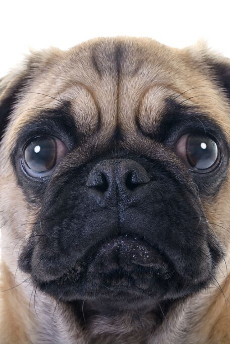 Closeup Face Headshot Of Pug Dog Crying With Tear In Right Eye Studio Shot Over White Background In 2020 Cute Pugs Pug Puppies Puppies And Kitties