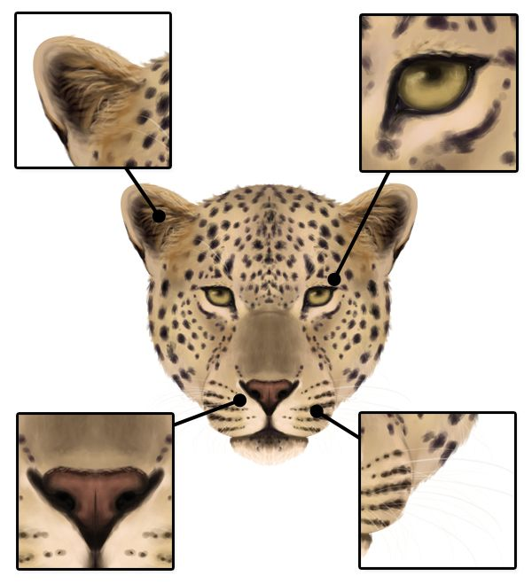 How to Draw Animals: Big Cats, Their Anatomy and Patterns - Part 2 ...
