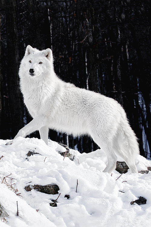Artic Wolf In Snow Via K2wolf Wolf Dog Animals Albino Animals