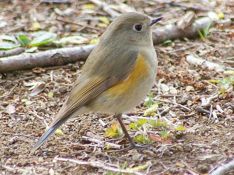 Red-flanked Bluetail-Female File:Ruribitakif1.JPG